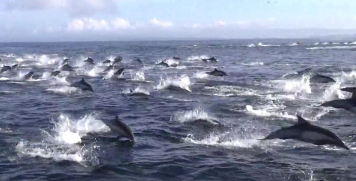 Hơn 1.000 con cá heo chạy tán loạn.