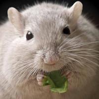 Cấy ghép tế bào beta của con người vào chuột, chữa khỏi bệnh tiểu đường