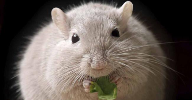 Sức khỏe đời sống-Cấy ghép tế bào beta của con người vào chuột, chữa khỏi bệnh tiểu đường