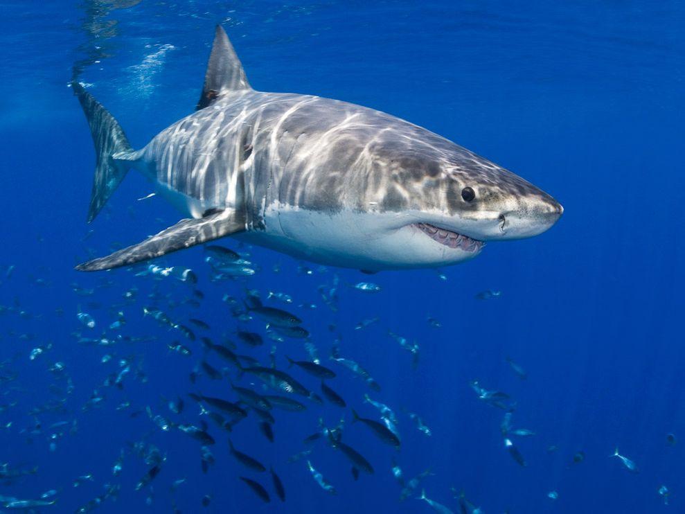 Là loài cá săn mồi lớn nhất trên trái đất, cá mập trắng khổng lồ là nỗi kinh hoàng của hàng trăm động vật biển.