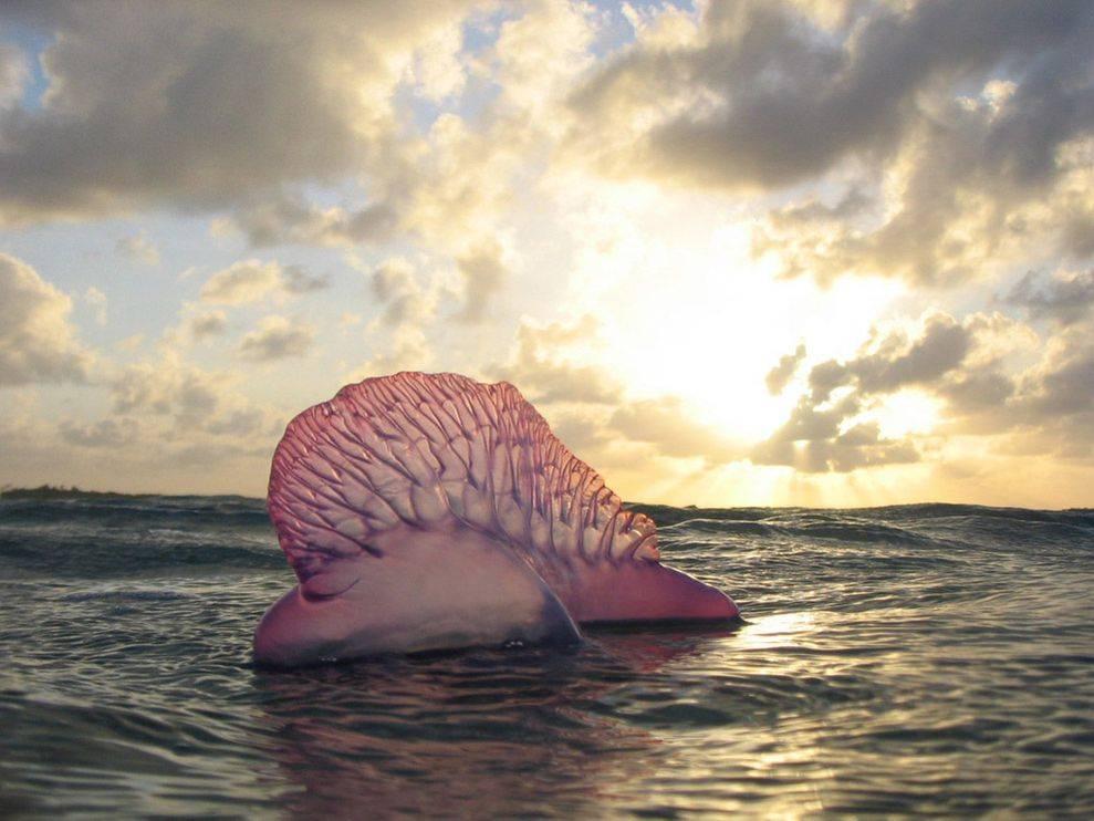 """""""Chiến thuyền Bồ Đào Nha"""" là tên mà người ta đặt cho các cụm động vật trên biển"""