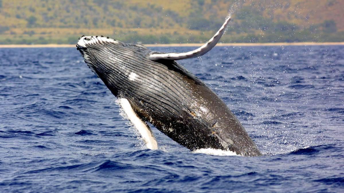 Cá voi vây (cá voi lưng xám) là động vật lớn thứ hai trên trái đất.