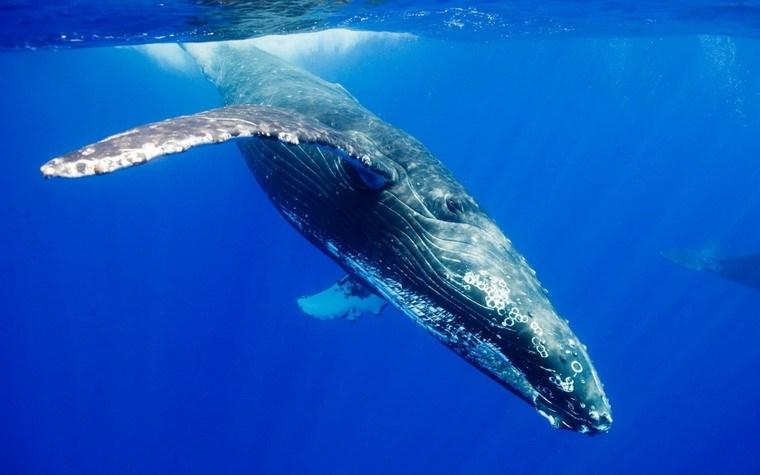 Ngay từ khi lọt lòng mẹ, chiều dài và khối lượng trung bình của cá voi xanh đã vào khoảng 7,6 mét và 3 tấn.