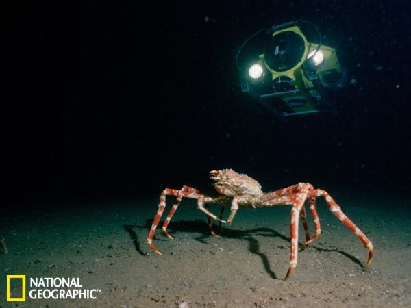 Chiều ngang cơ thể cua nhện khổng lồ có thể đạt tới 3 mét.