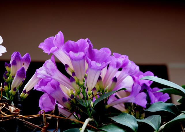 Hoa lan tỏi...