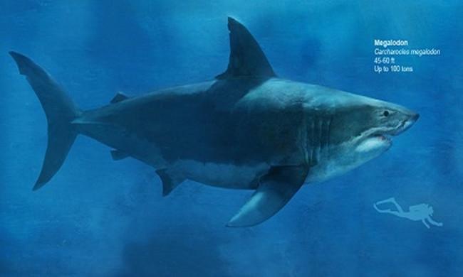 Hình minh họa kích thước đồ sộ (dài 14 - 18m và nặng 100 tấn) của cá mập Megalodon so với con người.