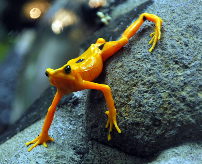 Động vật lưỡng cư sẽ biến mất, hơn 1.000 loài ếch bị tuyệt chủng cùng với các loài bò sát khác.