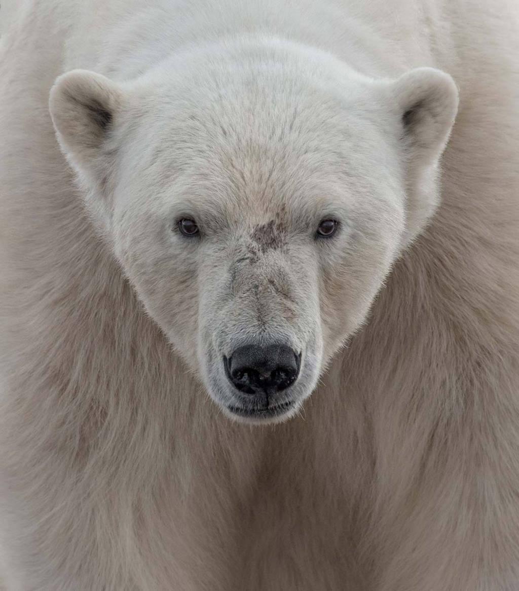 Ari Ross nhìn thấy chú gấu này ở Wahlenbergfjorden, ngoài Svalbard, Na Uy.