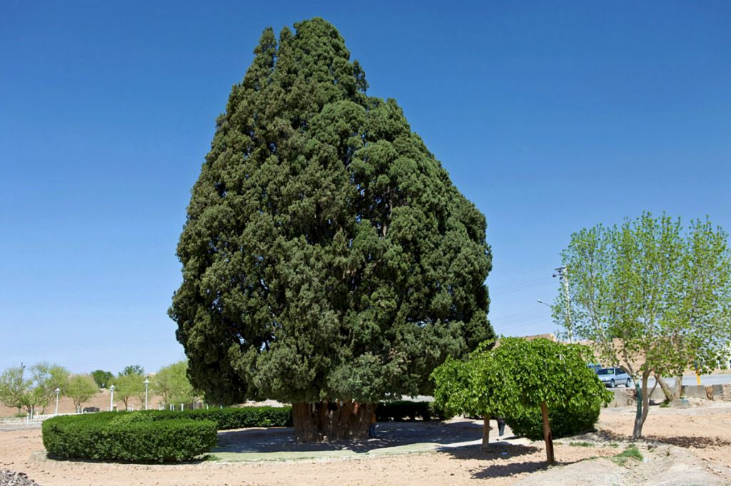 Cây Sarv-e Abarqu, hay Zoroastrian Sarv, cây có độ tuổi ít nhất là 4.000 năm tuổi