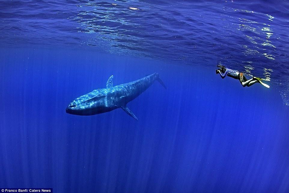 Nhiếp ảnh gia Thụy Sĩ Franco Banfi đã may mắn tiếp cận ở cự li rất gần loài động vật có vú lớn nhất hành tinh trong chuyến thám hiểm ở miền nam Sri Lanka.