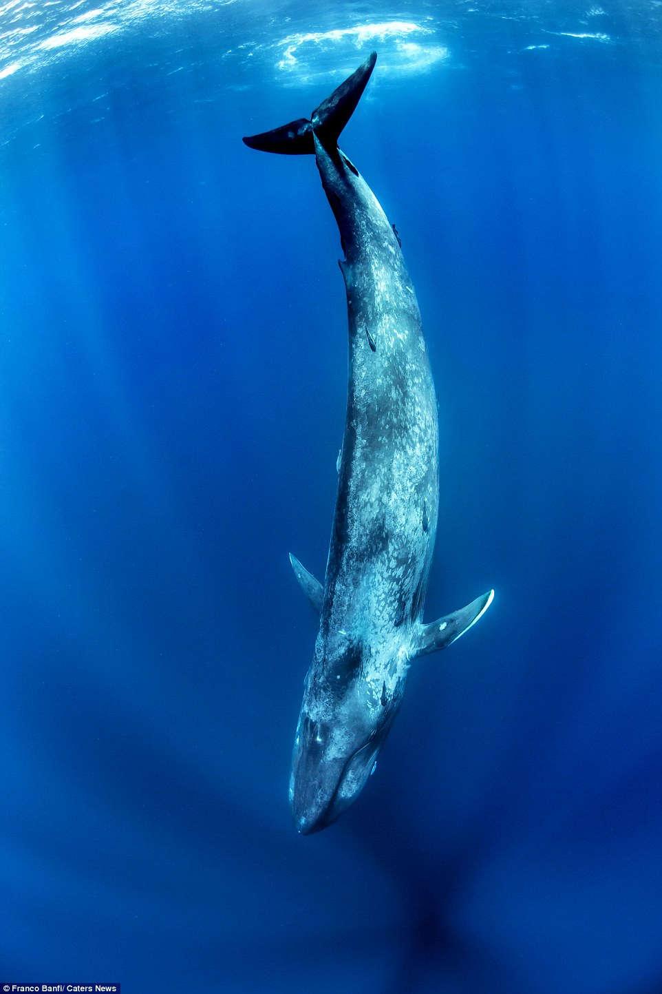 Cá voi xanh thuộc phân bộ cá voi tấm sừng hàm, chiều dài hơn 30m và nặng 170 tấn.