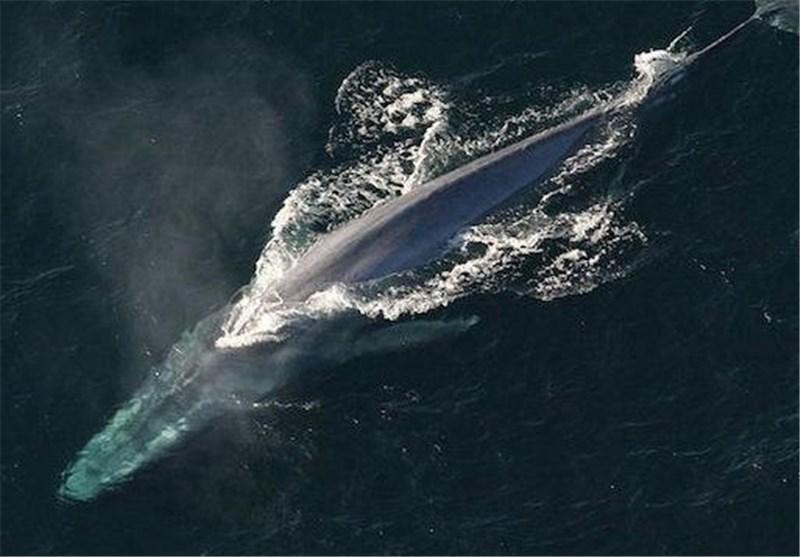 Theo một báo cáo vào năm 2002, có xấp xỉ 5.000 - 12.000 cá thể sống trên toàn thế giới.