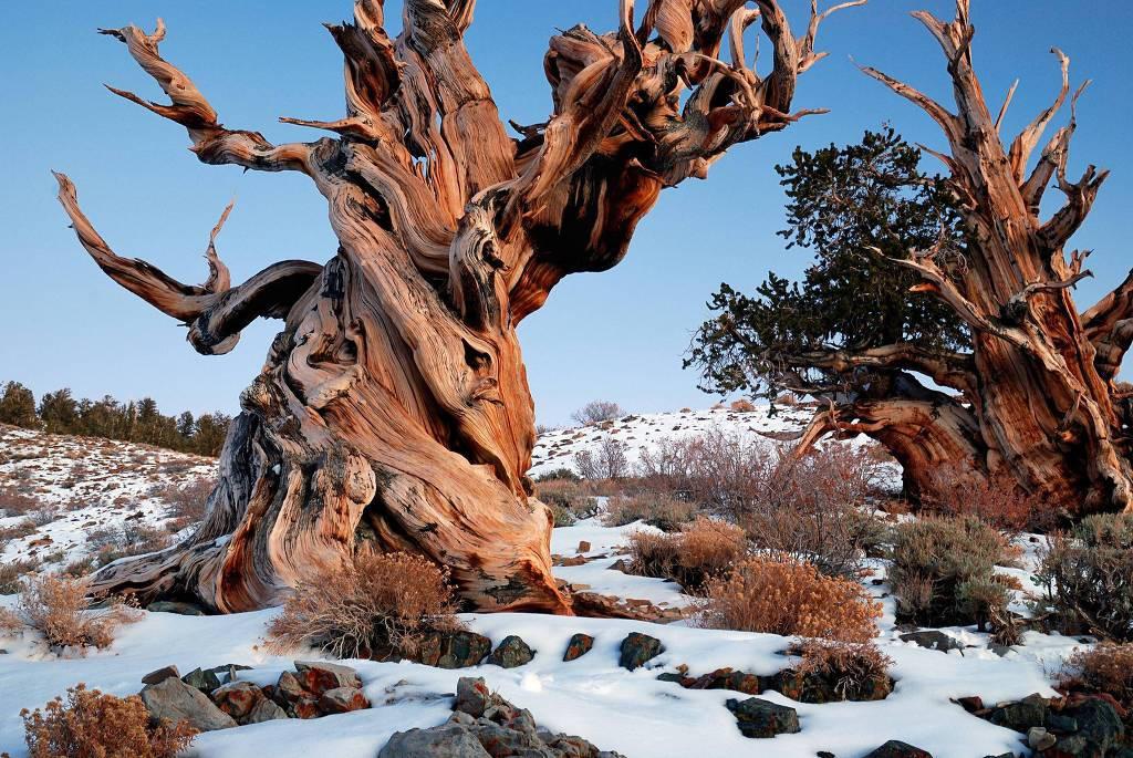 Cây thông Methuselah mọc trên dãy núi White, California, Mỹ