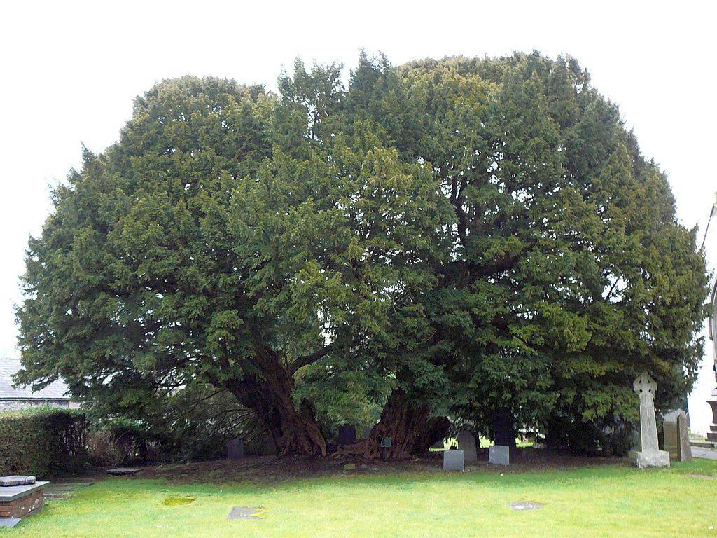 Cây thủy tùng mọc tại nhà thờ nhỏ, thuộc ngôi làng Llangernyw, phía bắc xứ Wales. Cây có độ tuổi khoảng 4.000 năm.