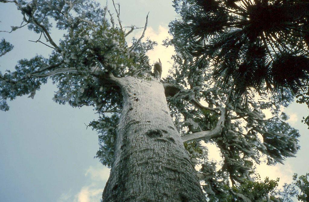 Cây Senator mọc ở bang Florida là cây bách lớn nhất tại Mỹ. Các chuyên gia ước tính cây cổ thụ này khoảng 3.500 năm tuổi.