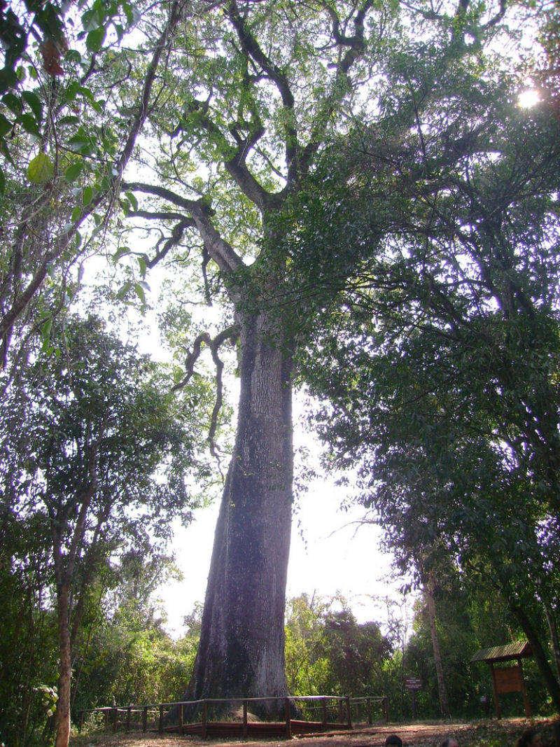 Cây Patriarca da Floresta, thuộc loài Cariniana legalis, mọc ở Brazil ước tính khoảng 3.000 năm tuổi.