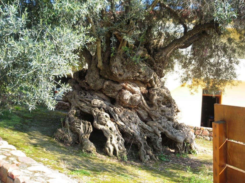 Cây ô-liu Vouves mọc trên đảo Crete, Hy Lạp là một trong 7 cây ô-liu có tuổi thọ lớn nhất Địa Trung Hải. Theo ước tính của các nhà khoa học, cây hơn 3.000 năm tuổi
