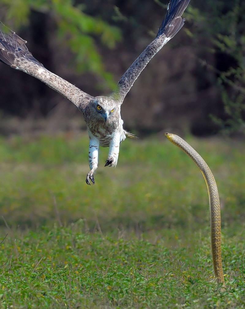 Đại bàng bất ngờ phát hiện một con rắn hổ mang đang đi săn đơn độc. Hạ thấp độ cao, đại bàng sẵn sàng tấn công c
