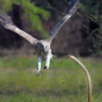 Cận cảnh rắn hổ mang quyết chiến sinh tử với đại bàng