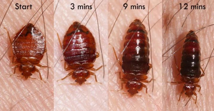 """Chỉ mất hơn 10 phút hút máu là rệp có thể """"ngủ đông"""" trong vòng 1 năm."""