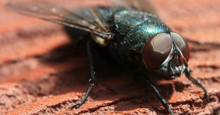 """Theo nhóm các nhà nghiên cứu của Đại học Macquarie ở Úc, ruồi và bọ chét có """"kinh nghiệm chủ quan""""."""
