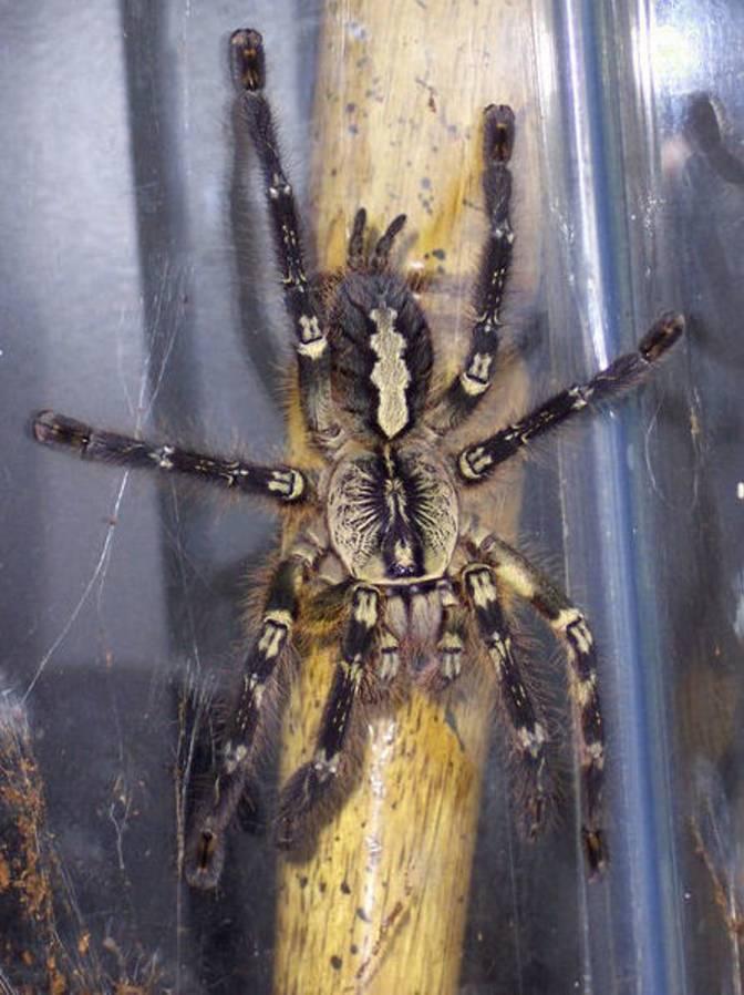 Nhện đen lớn Tarantula