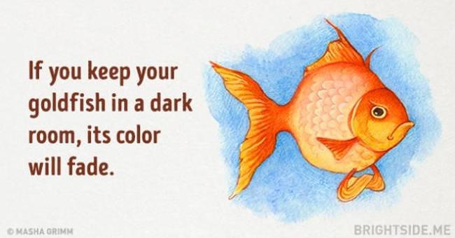 Nếu bạn để cá vàng trong phòng tối, màu của nó sẽ phai dần