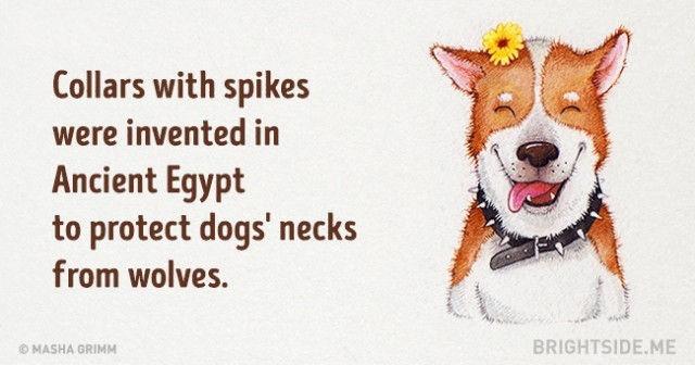 Vòng cổ có gai đã được phát minh từ thời Ai Cập cổ đại để bảo vệ cổ của chó khỏi những con sói
