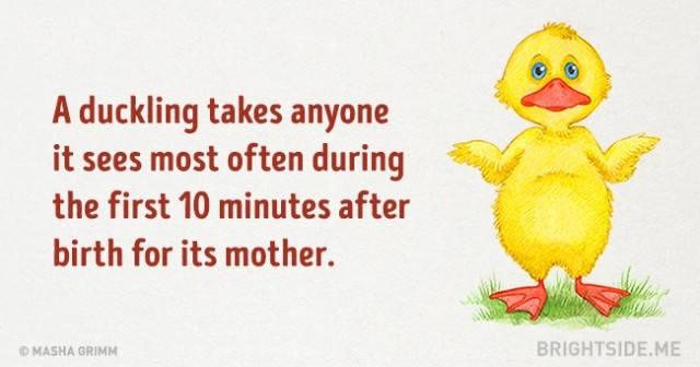Một con vịt sẽ xem thứ gì nó nhìn thấy thường xuyên nhất trong 10 phút đầu tiên sau khi nở là mẹ