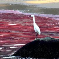 Cách Mỹ dự báo, phát hiện và đo độc tố thủy triều đỏ