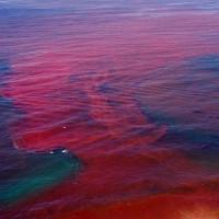 Thủy triều đỏ và những tác hại đối với sản xuất thủy sản