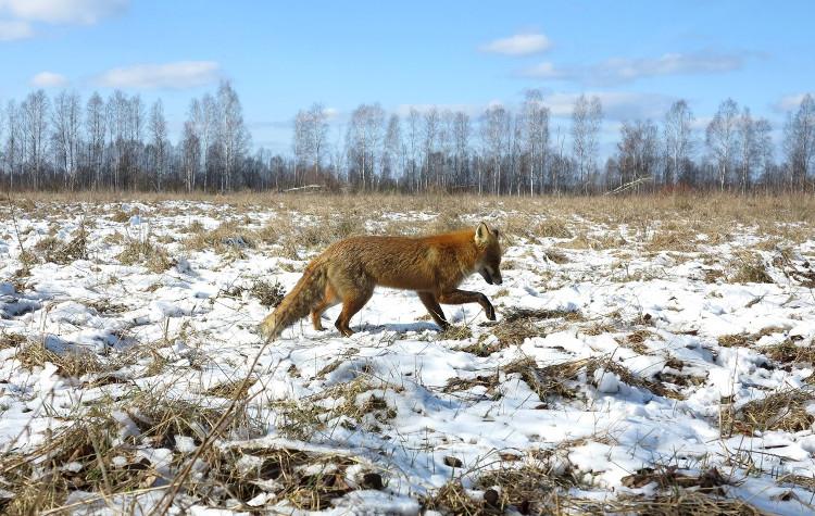 Một con sói sống trong khu vực chịu thảm họa Chernobyl.