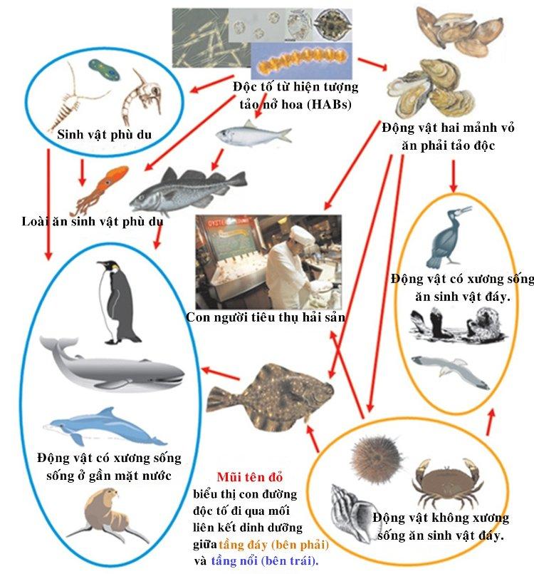 Độc tố ngấm vào những động vật ăn phải tảo, con người đánh bắt hải sản, chế biến món ăn, những chất độc theo đó mà xâm nhập vào cơ thể con người.