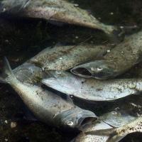 Biến đổi khí hậu sẽ khiến cá biển chết hàng loạt