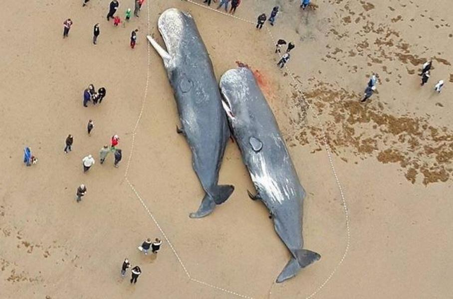 Hàng chục con cá nhà táng bị mắc cạn và chết trên vùng biển các nước châu Âu như Đức, Anh, Hà Lan, Pháp, Đan Mạch.