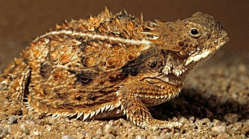 Sa mạc là nơi cư trú của một số sinh vật lạ lùng nhất thế giới, trong đó có loài thằn lằn có sừng.