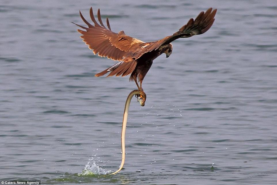 Đại bàng bay khỏi mặt hồ cắp theo cả rắn và cá, nhưng không thể giữ con mồi được lâu và con rắn sau đó đã lao trở lại hồ với con cá trong miệng.