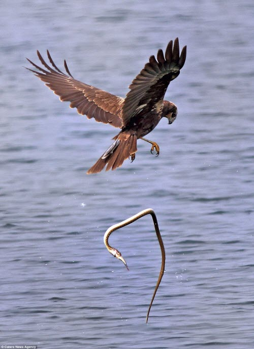 Cảnh tượng hiếm thấy được ghi lại bởi nhiếp ảnh gia Hemant Kumar khi anh đang quan sát chim tại vùng Ameenpur ở Hyderabad, Ấn Độ.