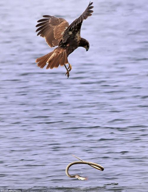 """""""Tôi nhìn thấy chim đại bàng bay trên hồ để săn cá. Khi nó lao xuống nước bắt cá, ngay lập tức con rắn lao tới để tranh mồi"""", nhiếp ảnh gia 35 tuổi nói."""