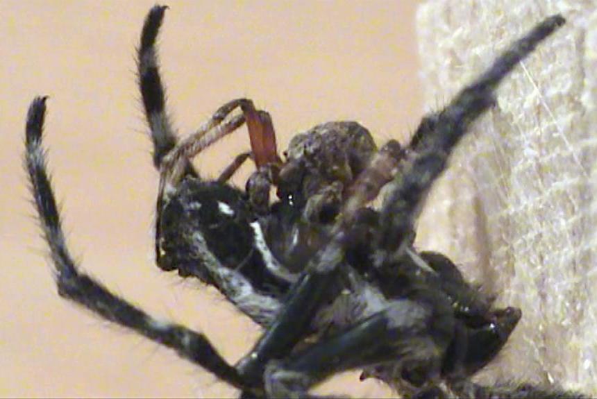 Một con đực thuộc loài nhện vỏ cây Darwin đang tiết nước bọt lên bộ phận sinh dục của con cái.