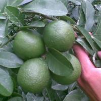 Kỹ thuật trồng cây chanh cho trái quanh năm