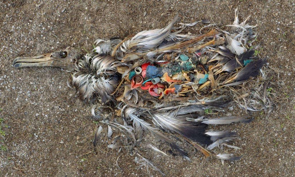 Chú hải âu chết do ăn phải quá nhiều nhựa thải trên các bãi biển du lịch.