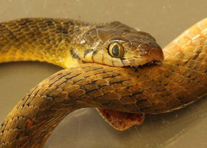 Một con rắn được tìm thấy trong tình trạng đã chết tại Australia, trong khi những chiếc răng nanh của nó vẫn cắn chặt trên thân.