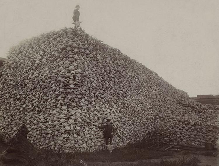 Núi xương sọ bò rừng bizon trong bức ảnh chụp năm 1870 đang chờ nghiền nhỏ và trộn thành phân bón.