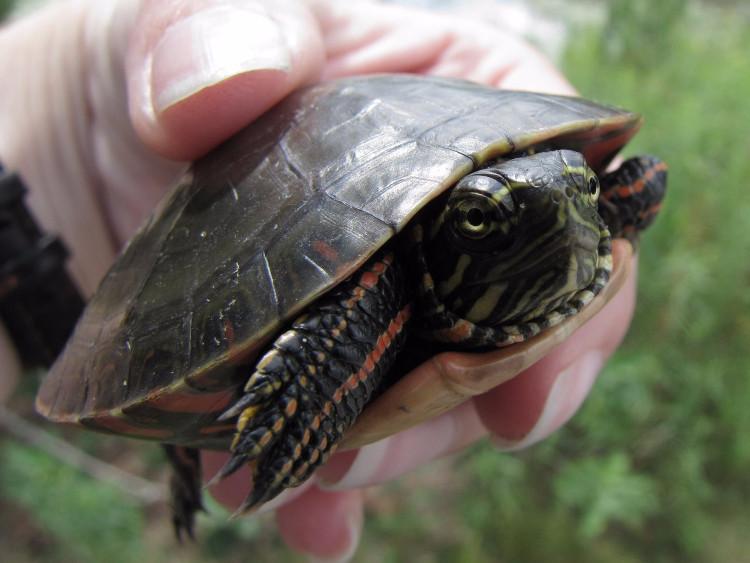 Rùa vẽ là một loài động vật cứng cỏi, chịu đựng được gian khổ