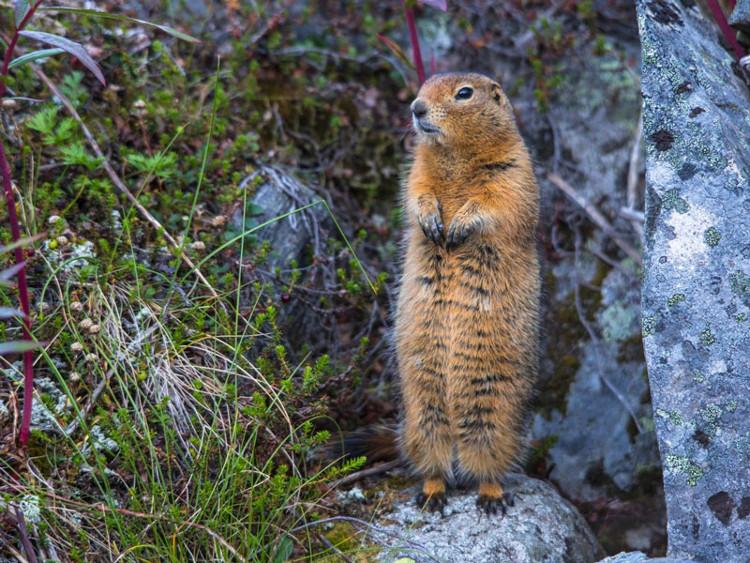 Đây là động vật có vú duy nhất có thể chống lại việc đóng bưng dưới 0oC.