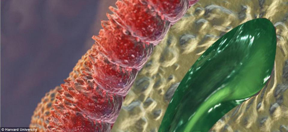 Microvilli trong thành ruột, giúp hấp thụ chất dinh dưỡng từ thức ăn và chuyển vào máu.