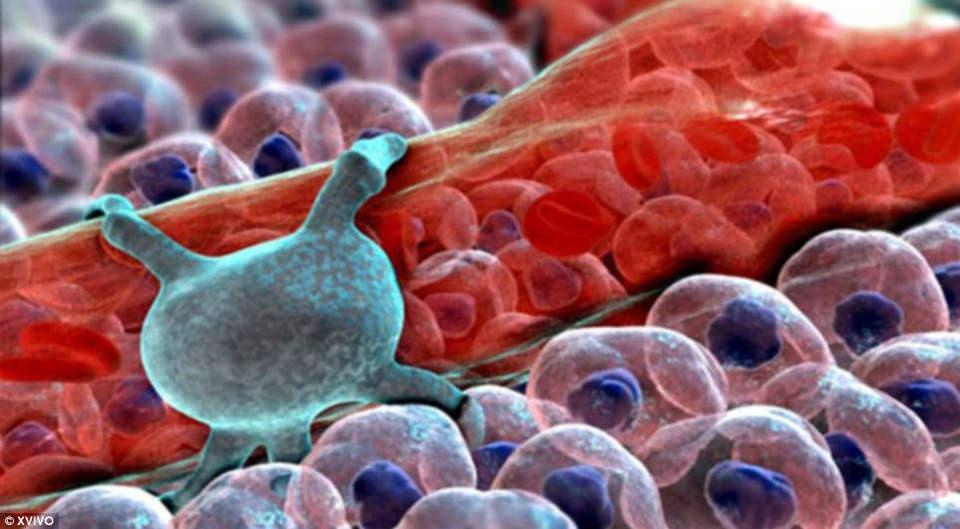 Pericytes (màu xanh) có trên các mao mạch, giúp điều chỉnh lượng máu và dọn các mảnh vỡ tế bào có trong máu.