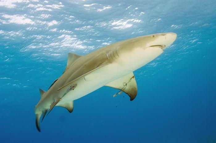 Cá mập chanh dài khoảng 3.04m và nặng lên tới 90.7kg.