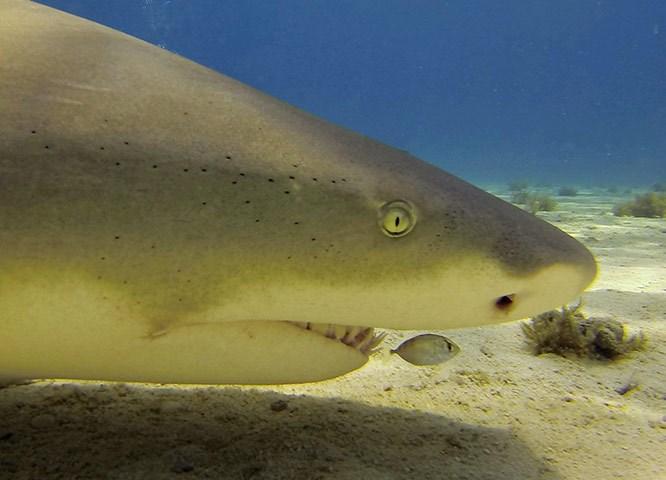 Chúng có cái đầu dẹt và mũi rộng cùng với hàm răng cong cong để giữ con mồi khỏi rơi ra khỏi hàm.